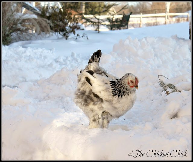 Most chickens dislike walking in snow, but will venture out into a clear or shoveled area. Some chickens will brave the snow voluntarily, but don't try to force, cajole, encourage or bribe them into going outside. Allow them the opportunity to wander out by leaving the door to a protected run open, but let them decide where they want to spend their time.