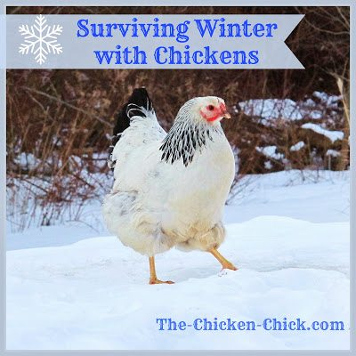 The thought of surviving winter with chickens don't have to send chills up your spine. There are really only two things that are critical to a backyard flock in cold temperatures: access to water and a dry coop.