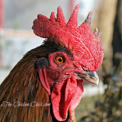 This is a mild case of frostbite to the comb and wattles that occurred when temperatures were in the teens one day and the wind chill brought the temps to below zero. The roosters insist on patrolling the perimeter of the coops, which puts them at high risk for frostbite with their large combs and wattles.