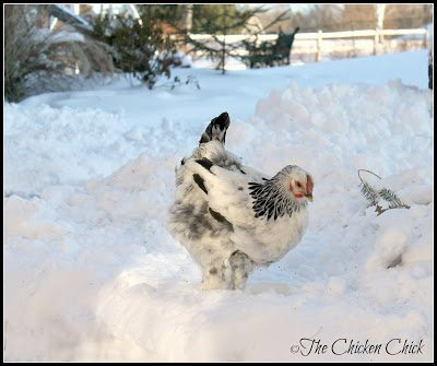Roosters and breeds with single combs are at the greatest risk of frostbite due to their more prominent combs and wattles. Frostbite to feet is an equal-opportunity affliction.
