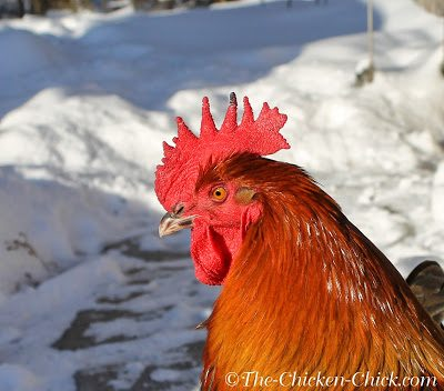 In cold weather, chickens are able to conserve body heat by restricting blood-flow to their combs, wattles and feet, the very parts of the body that give off excess heat in warm weather. The result is a decrease in warmth and oxygen to those extremities, which puts them at risk for frostbite.