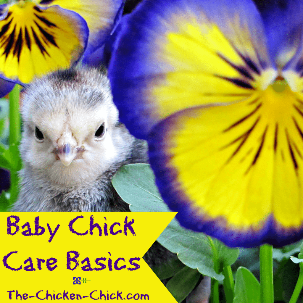 Most other ailments and afflictions that can befall baby chicks such as respiratory illnesses and Marek's disease usually don't, so don't worry unnecessarily about them. Keeping a clean brooder and clean water both go a long way towards keeping baby chicks healthy and happy.