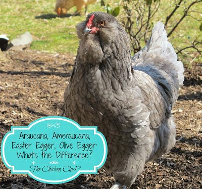 This is a Blue Ameraucana- she produces beautiful blue eggs. Shop carefully for this purebred chicken as many breeders and hatcheries mis-label hybrid chickens as purebreds.