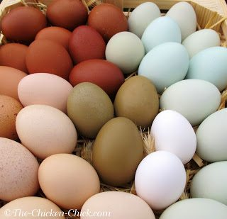 The rate of egg production can also be generalized by breed. Some breeds are known for being prolific egg layers, producing 4 or more eggs per week, (Plymouth Rocks, Wyandottes, Hamburgs) while others lay less frequently (eg: Silkies and Seabrights).