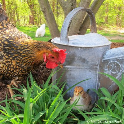 The hen on the left is a Golden Laced Wyandotte