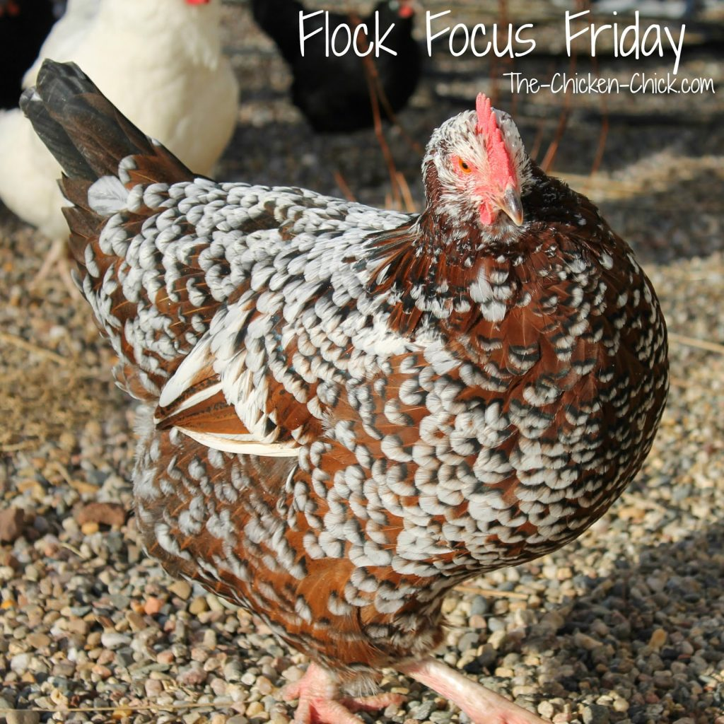 Speckled Sussex Hen pic The-Chicken-Chick.com