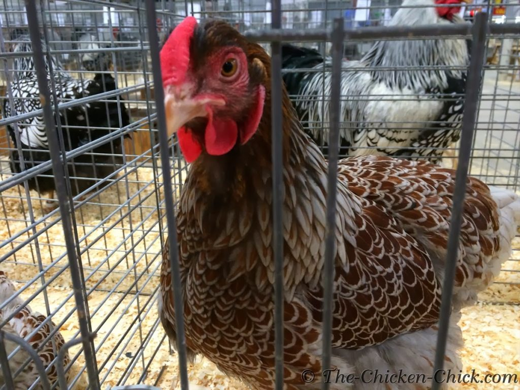 LF Blue Laced Red Wyandottes