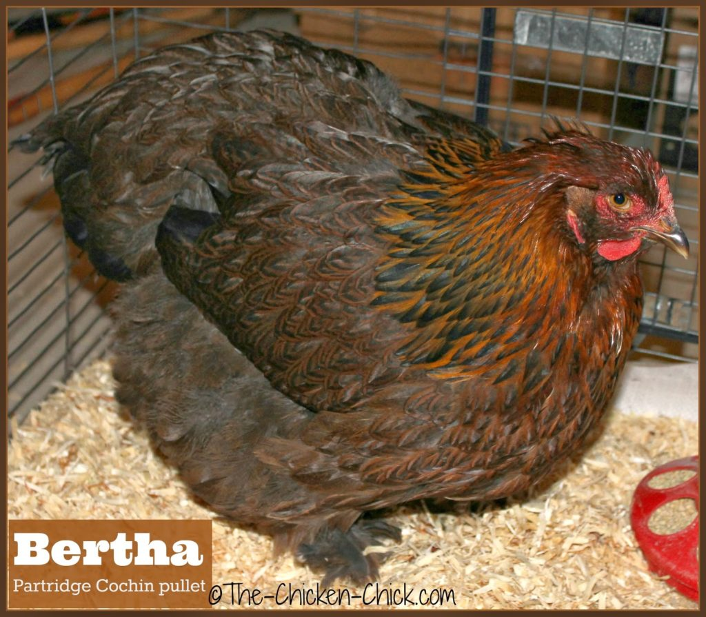 Our new Partridge Cochin pullet