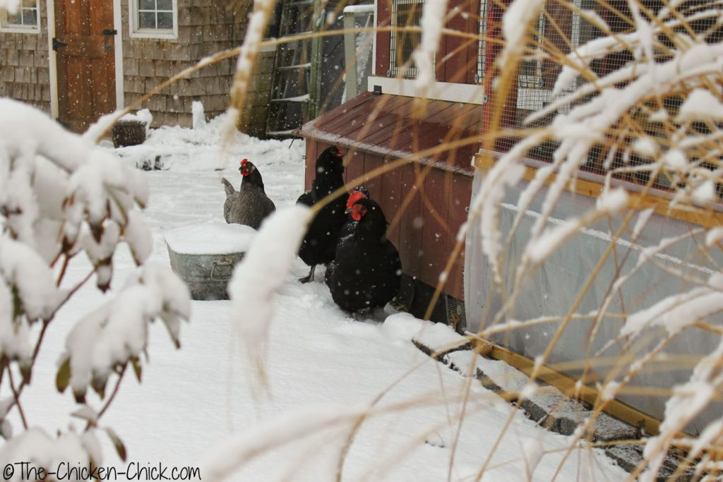 Chickens in snow.