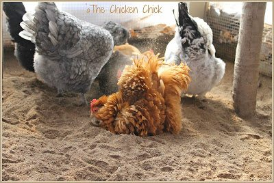 Chickens dust bathing in sand.