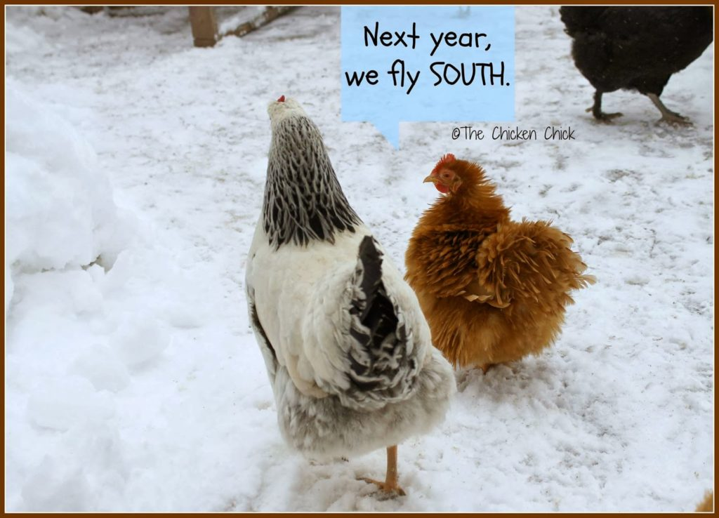 Next year, we fly south. Chickens in snow.