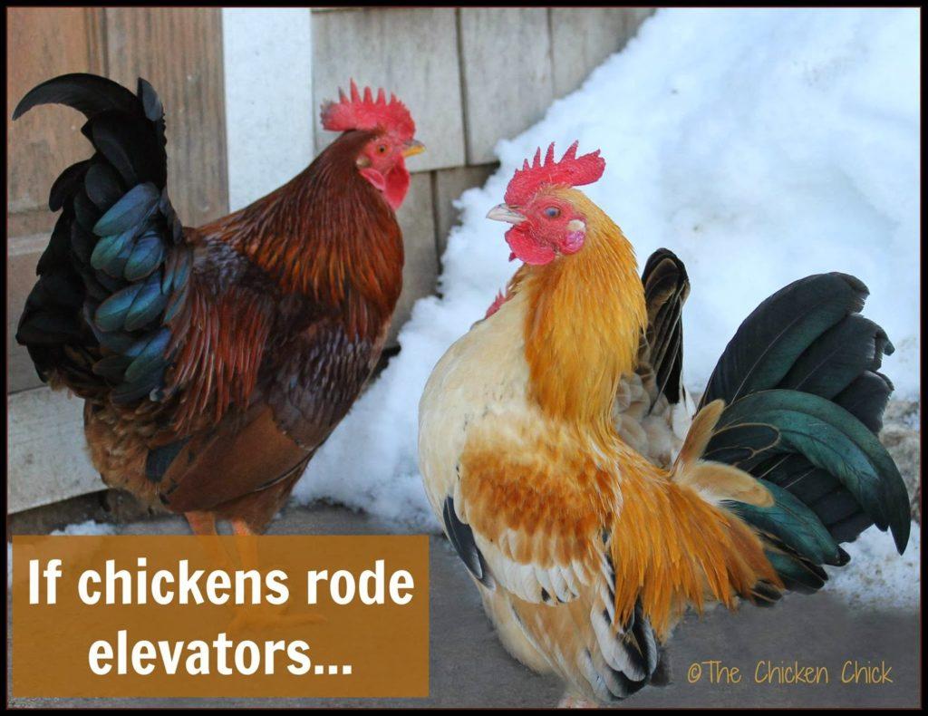 If chickens rode elevators.