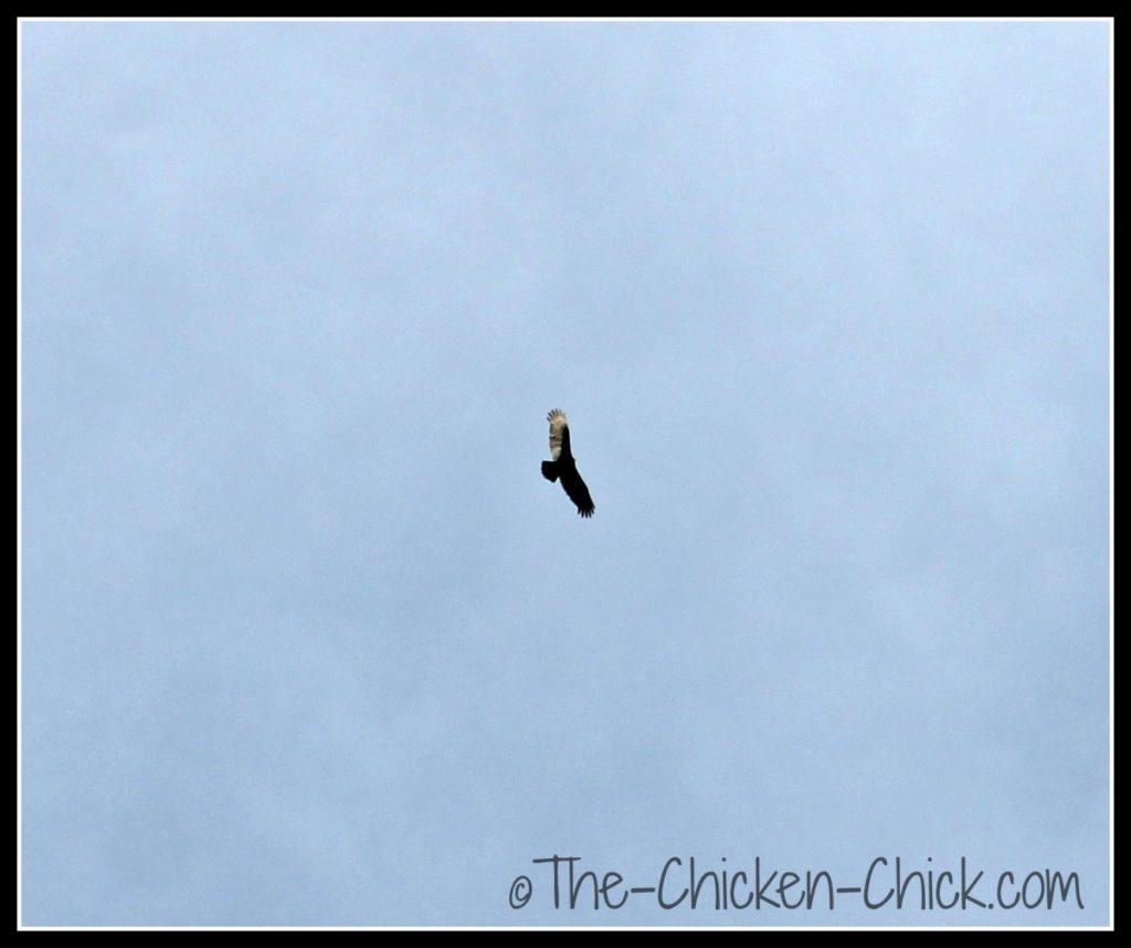 Hawk circling the chicken yard.
