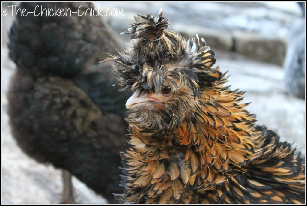 Tolbunt Polish frizzle hen