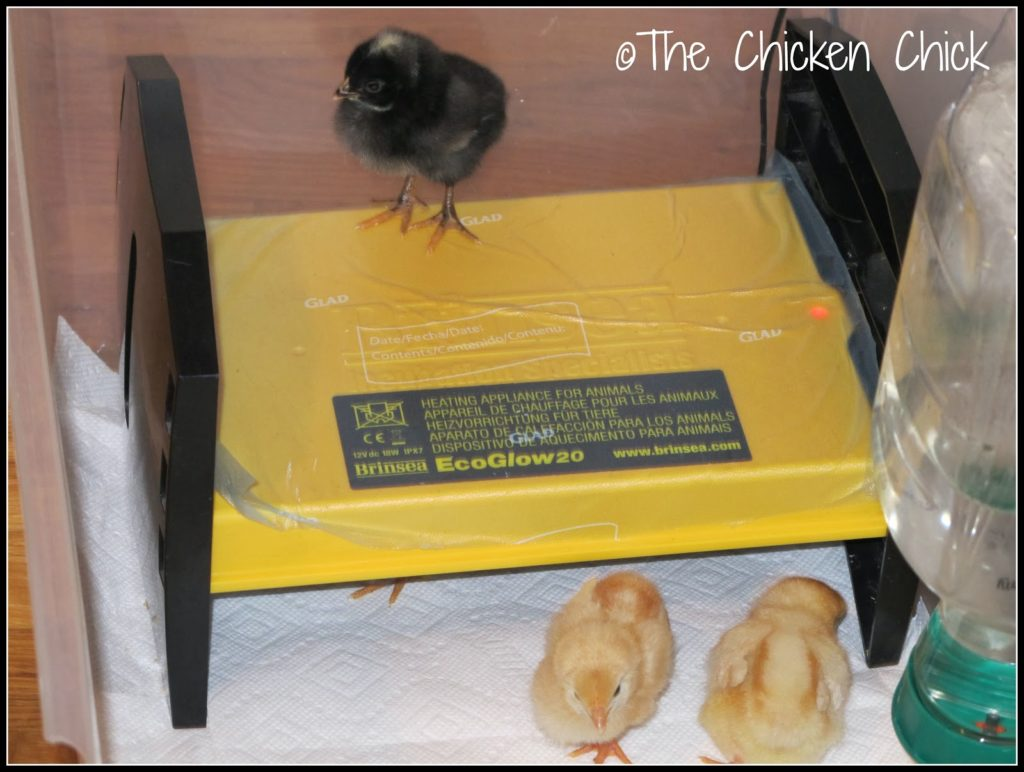 Three day old chicks on and under Brinsea EcoGlow Brooder