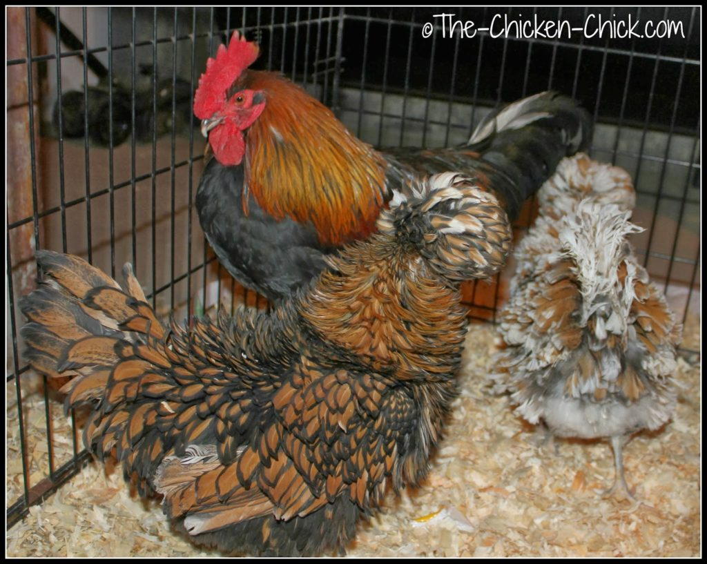 Marans rooster and Tolbunt Polish Frizzle hens