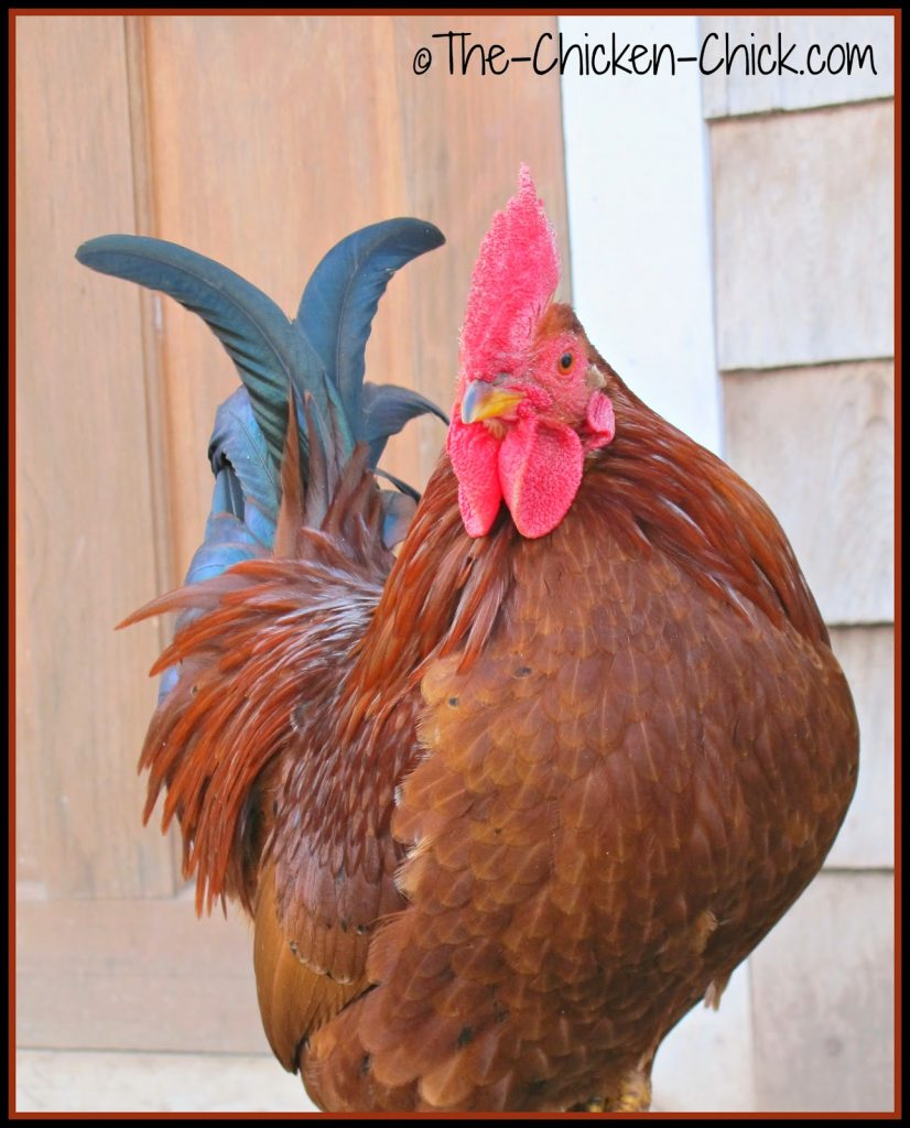 Spartacus, a mixed breed rooster.