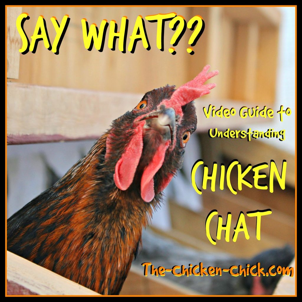 Chickens have a language all their own and while we may not understand it at first, by paying attention and tuning into our chickens we can understand a good deal of what they are trying to communicate.