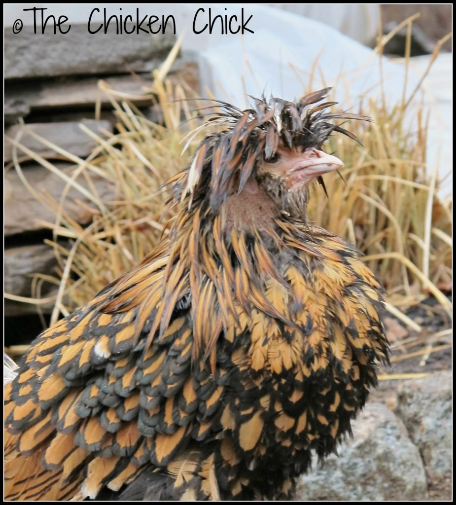 Tolbunt Polish Frizzle chicken