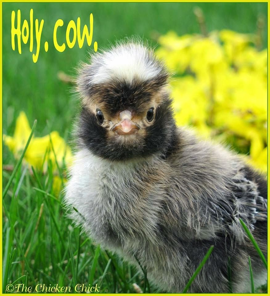 Holy. Cow. chick