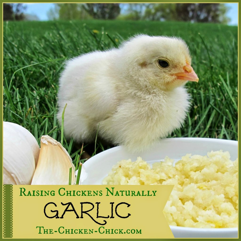 Let's explore the use of garlic in chickens with poultry herbalist Susan Burek. I am a skeptic and when I see claims that garlic fed to chickens daily acts as a dewormer, an immune system builder, increases respiratory health, repels external parasites and reduces the stink of chicken poop, I think: if it sounds too good to be true, it probably is.