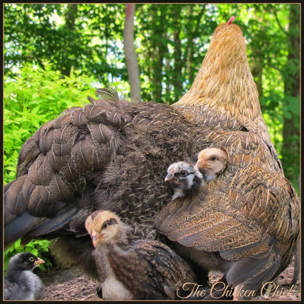 ellen deHeneres, a Marans hen with her adopted chicks
