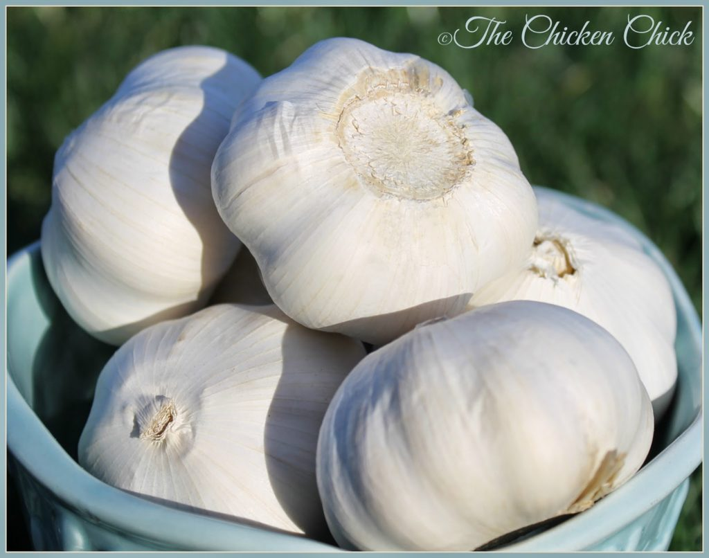 Throughout history, garlic has been treasured as a food and as a medicine.