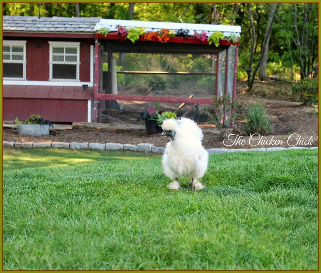 White Silkie hen, Freida.