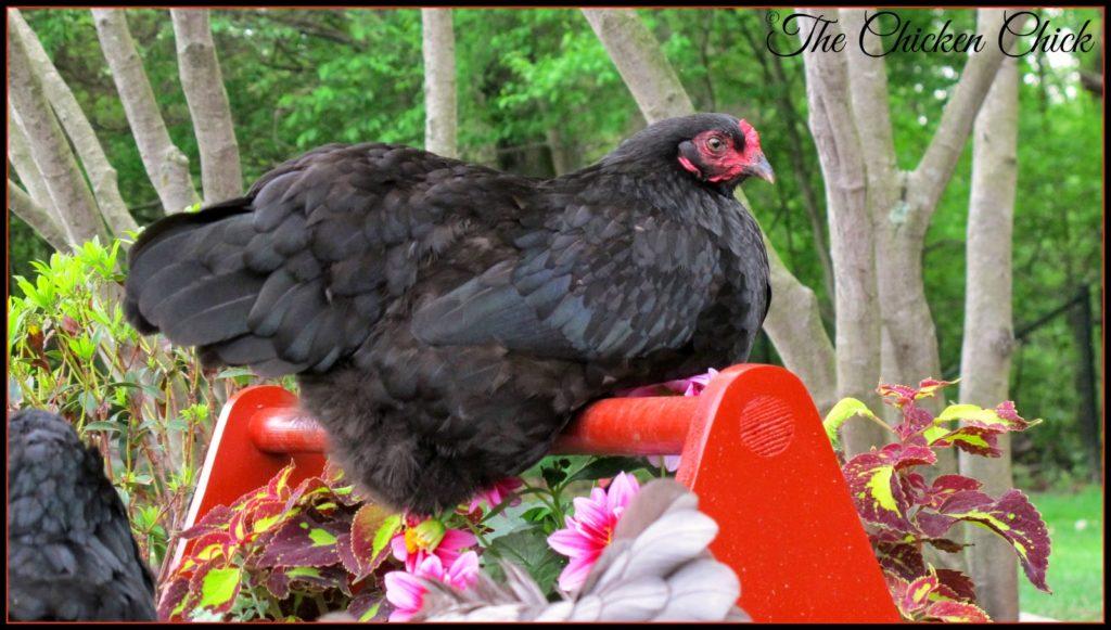 Olive Egger hen