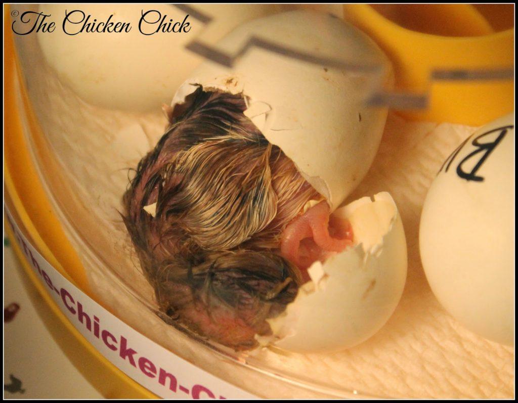 chick hatching in Brinsea Mini Advance incubator