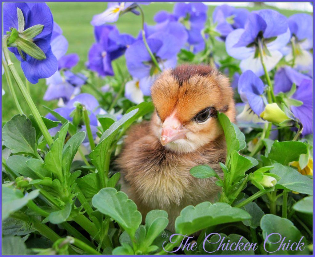 Spring chicken.