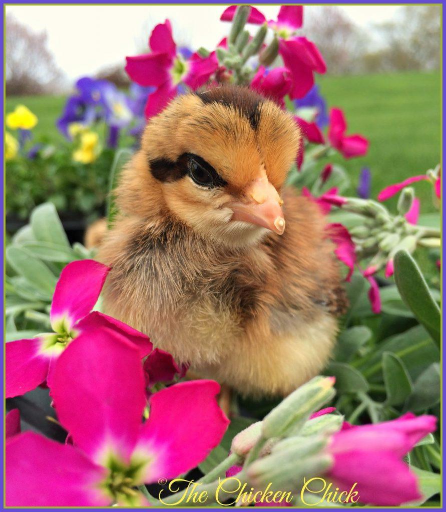 Spring Chickens.