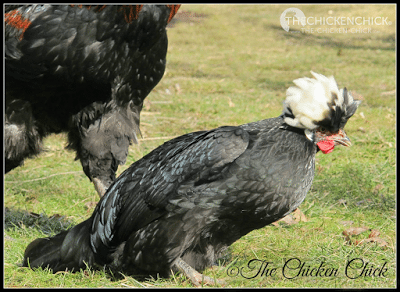 The submissive squat is the posture I refer to when a chicken crouches down, spreads its wings to the side for balance and lowers its tail. This is the stance a hen assumes when they have reached sexual maturity and are approached by a rooster for mating. If you haven't identified your chicken as a pullet by the age of five months or so, the submissive squat is a sure sign that your chicken is female and is going to lay an egg within a week or so!