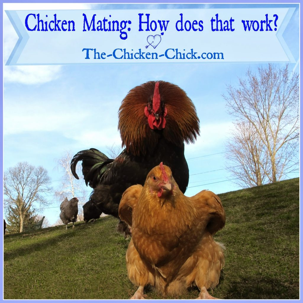 Chicken Mating: How Does That Work? | The Chicken Chick®