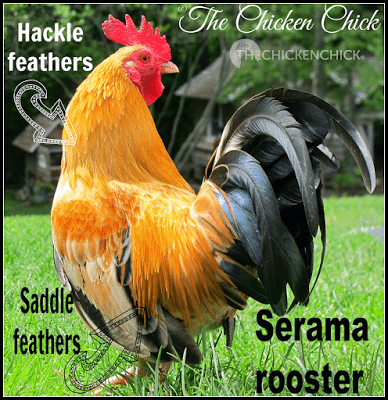 Hackle feathers grow around a chicken's neck and begin to appear as a chicken approaches sexual maturity, around 4-6 months old. A rooster's hackle feathers are long and pointy, a hen's hackle feathers are shorter and more round.