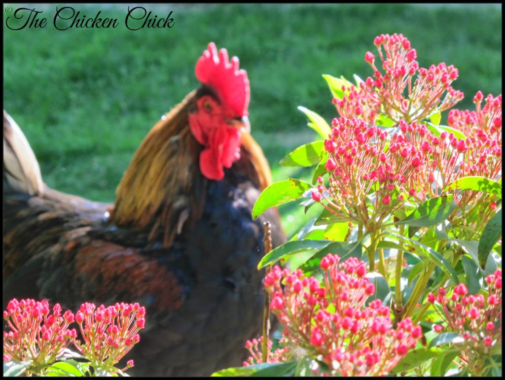 Blaze, Black Copper Marans