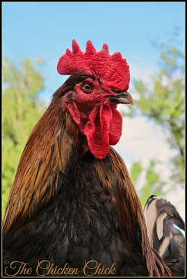 Black Copper Marans rooster.