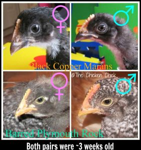 By three weeks of age, it is usually possible to notice distinguishing physical features that point to a chicken's gender.
