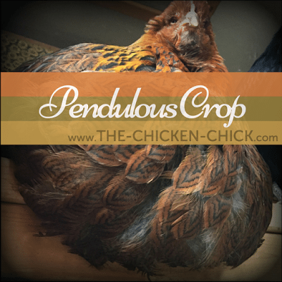 Pendulous crop is a much less common crop problem in backyard chickens. Information about the causes, prevention & treatment of pendulous crop can be found here.