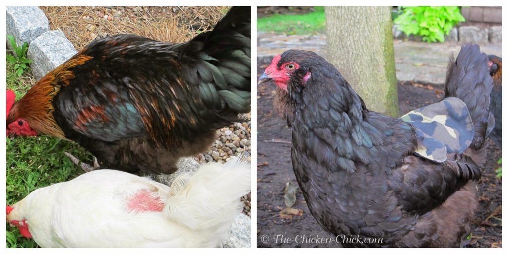 Treading can cause feather damage, bald spots and skin damage to the hen. A cloth apron, also known as a hen saddle, can be worn by the hen as protection from too frequent or too aggressive treading.