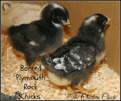 The gender of certain chicks can be sexed by the color of their down at hatch.