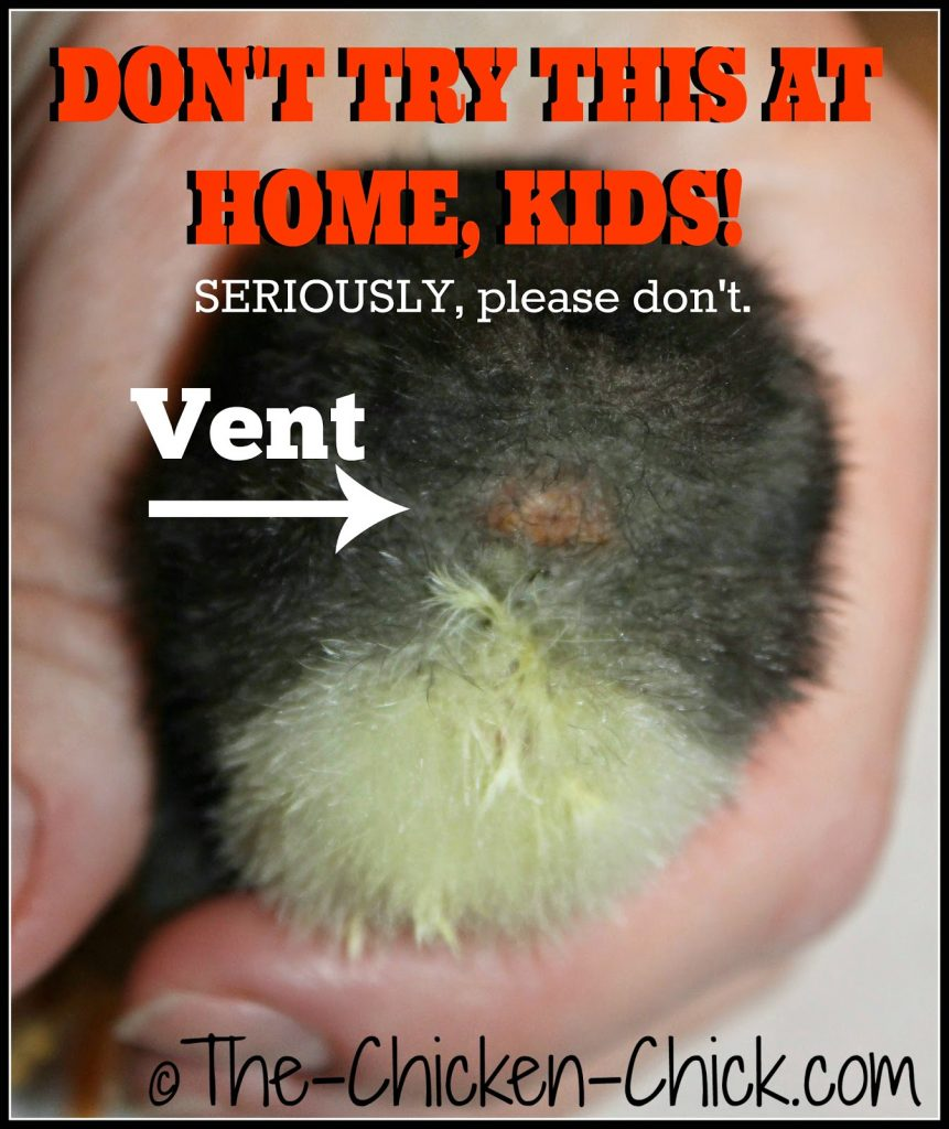 Vent sexing sounds and appears very straightforward, but it is a true science and an art form and should not be attempted by backyard chicken keepers. When improperly performed, day old chicks are at risk of disembowelment and death.