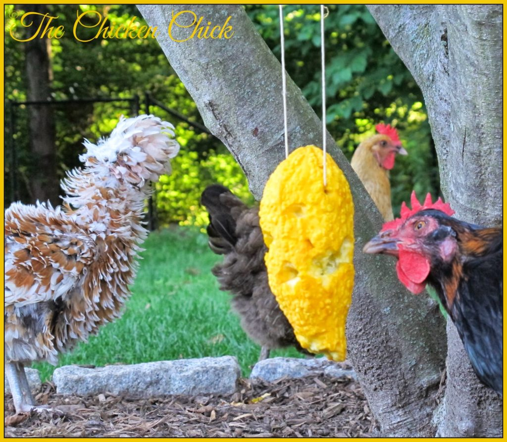 Summer Squash Piñata boredom buster for chickens