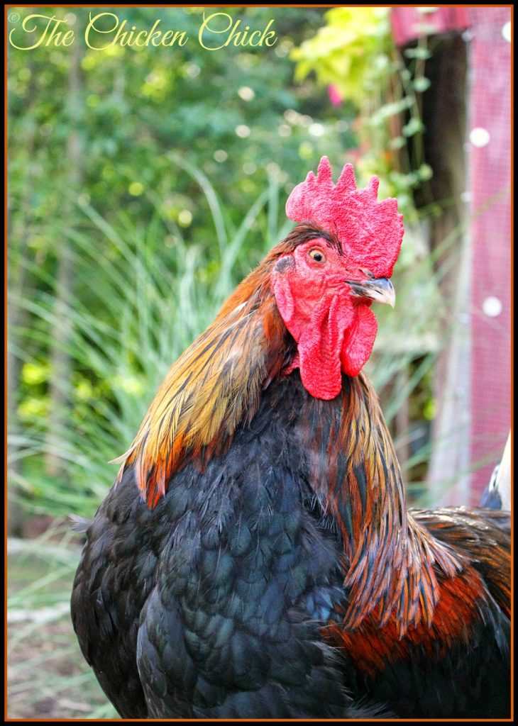 Blaze (Black Copper Marans rooster)