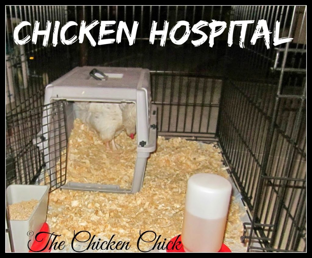 Segregate the affected chicken from the flock to avoid the possibility of cannibalism. It should remain isolated in Chicken Hospital until the infection has healed fully.