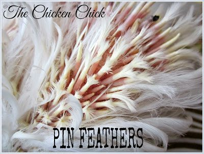 Newly emerging feathers have a vein-filled shaft that will bleed if cut or injured. Avoid cutting any of these pin feathers during wing clipping.