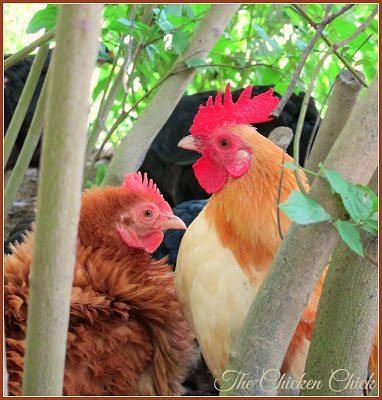 Bantam Cochin Frizzle hen with Serama cockerel