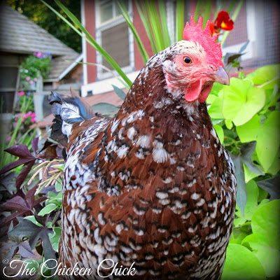 Kate (Speckled Sussex hen)