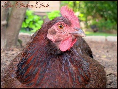 Partridge Plymouth Rock hen.