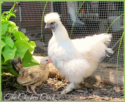 Serama cockerel and Silkie hen.